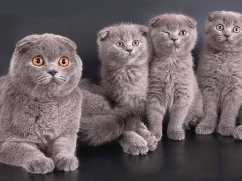 Британская вислоухая порода кошек