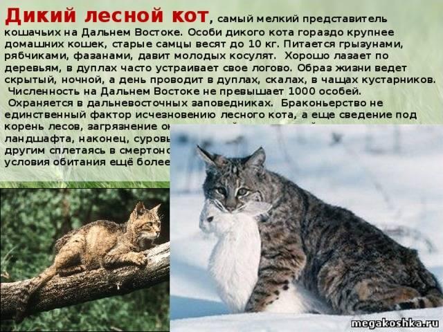 Лесная кошка (лесной кот): фото, описание породы, обитание, питание, размножение лесная кошка (лесной кот): фото, описание породы, обитание, питание, размножение