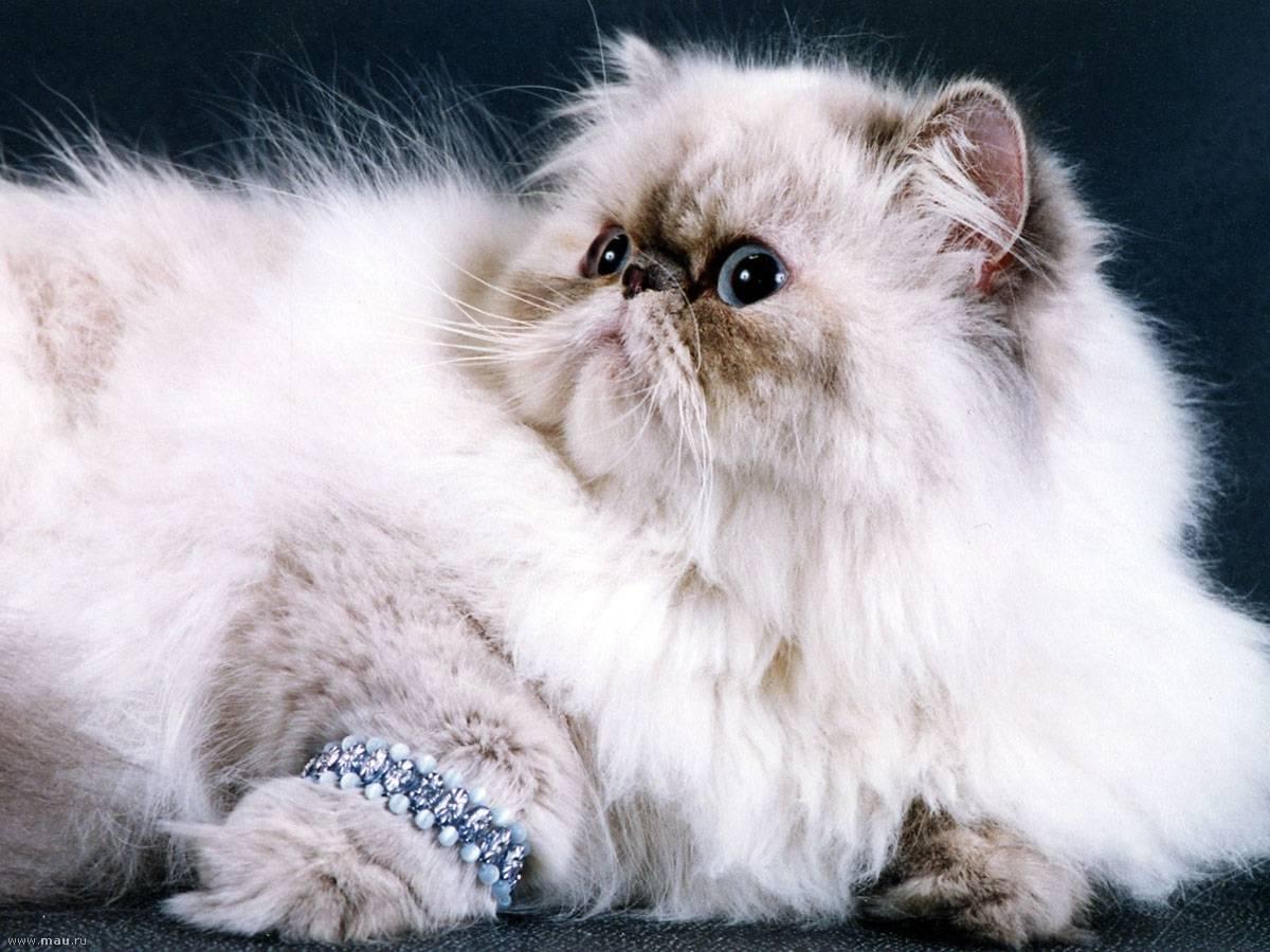 Все о персидских котах: внешний вид, характер, продолжительность жизни