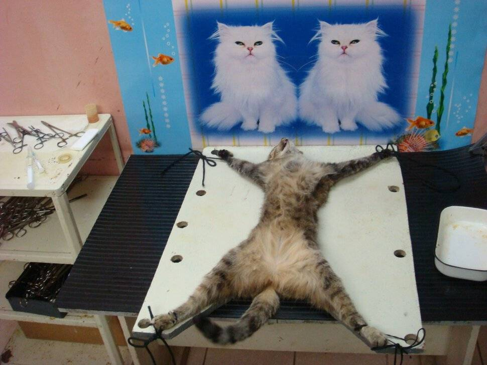 Можно ли кастрировать кота в 7 лет: мнение ветеринаров и экспертов