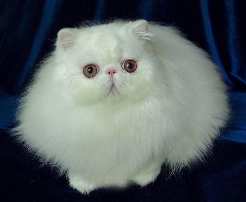 Разновидности и описание кошек с большими глазами