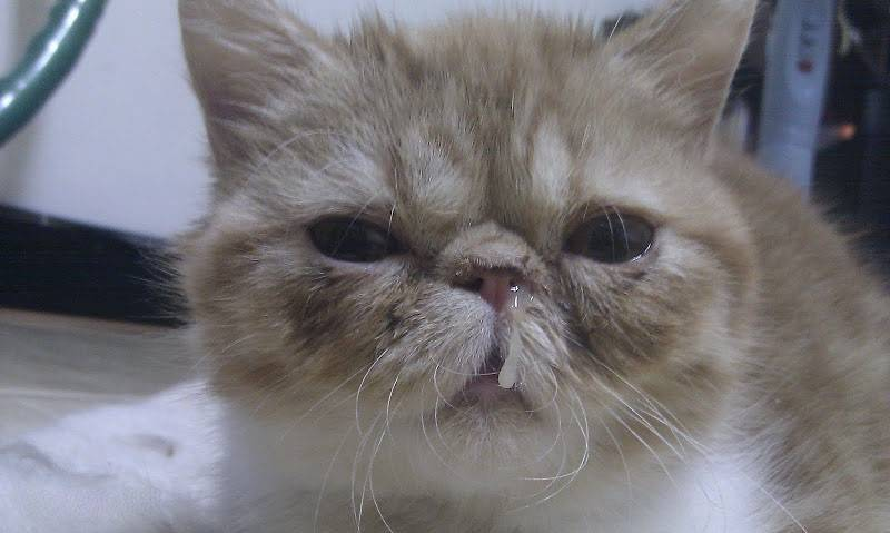При каких заболеваниях чихают кошки и что делать?