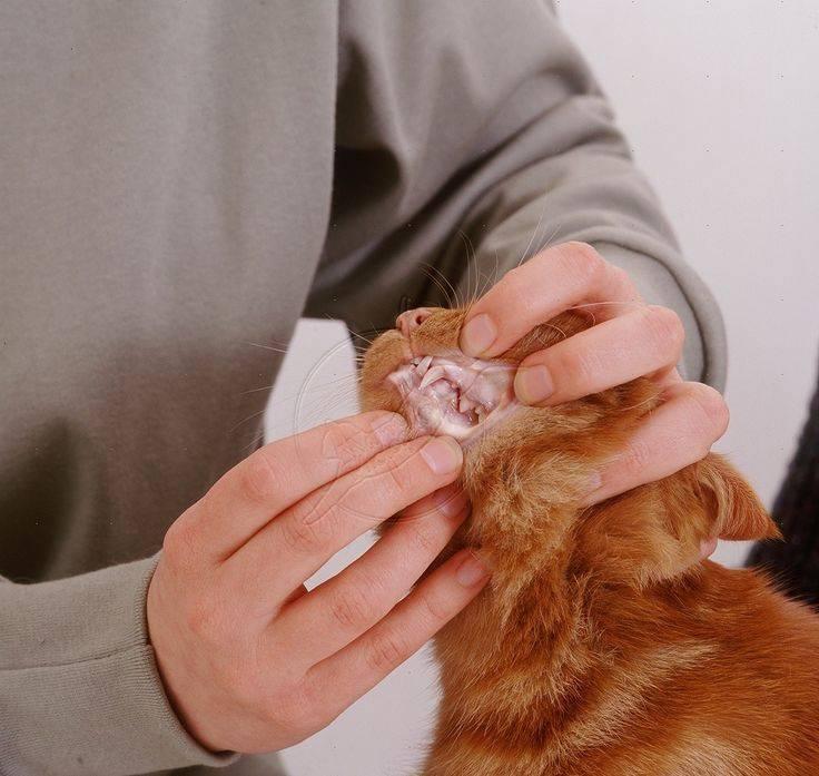 Сальмонеллёз у кошек