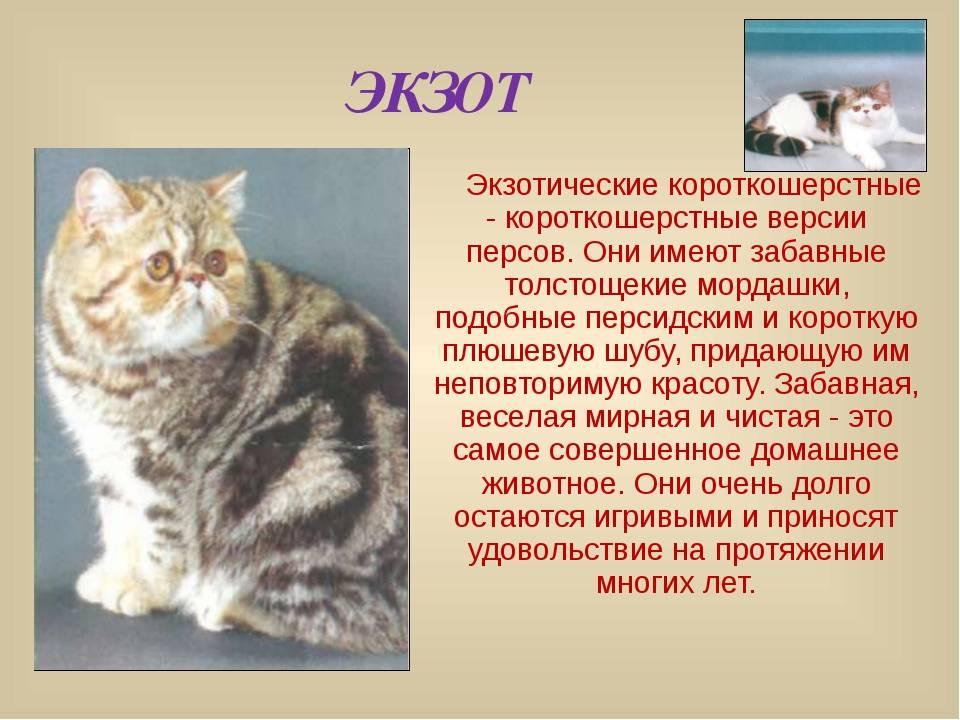 Китайская кошка: стандарты породы, характер и повадки, здоровье и питание, фото, места обитания, содержание в неволе