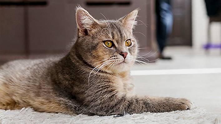 Кастрированный кот метит: что делать, причины, почему после кастрации кот продолжает метить территорию в квартире