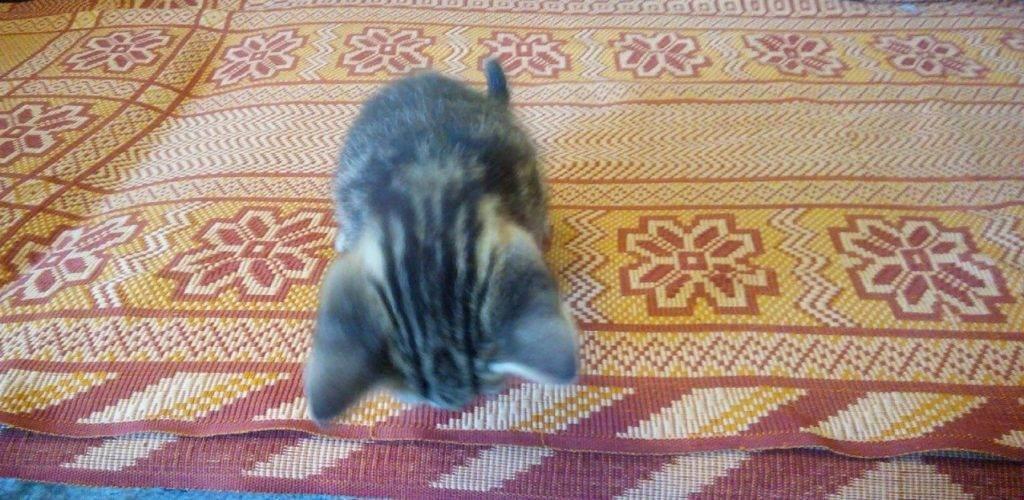 Почему кошки вытирают попу. почему кошка ездит на попе: выясняем причины недомогания. воспаление параанальных желез