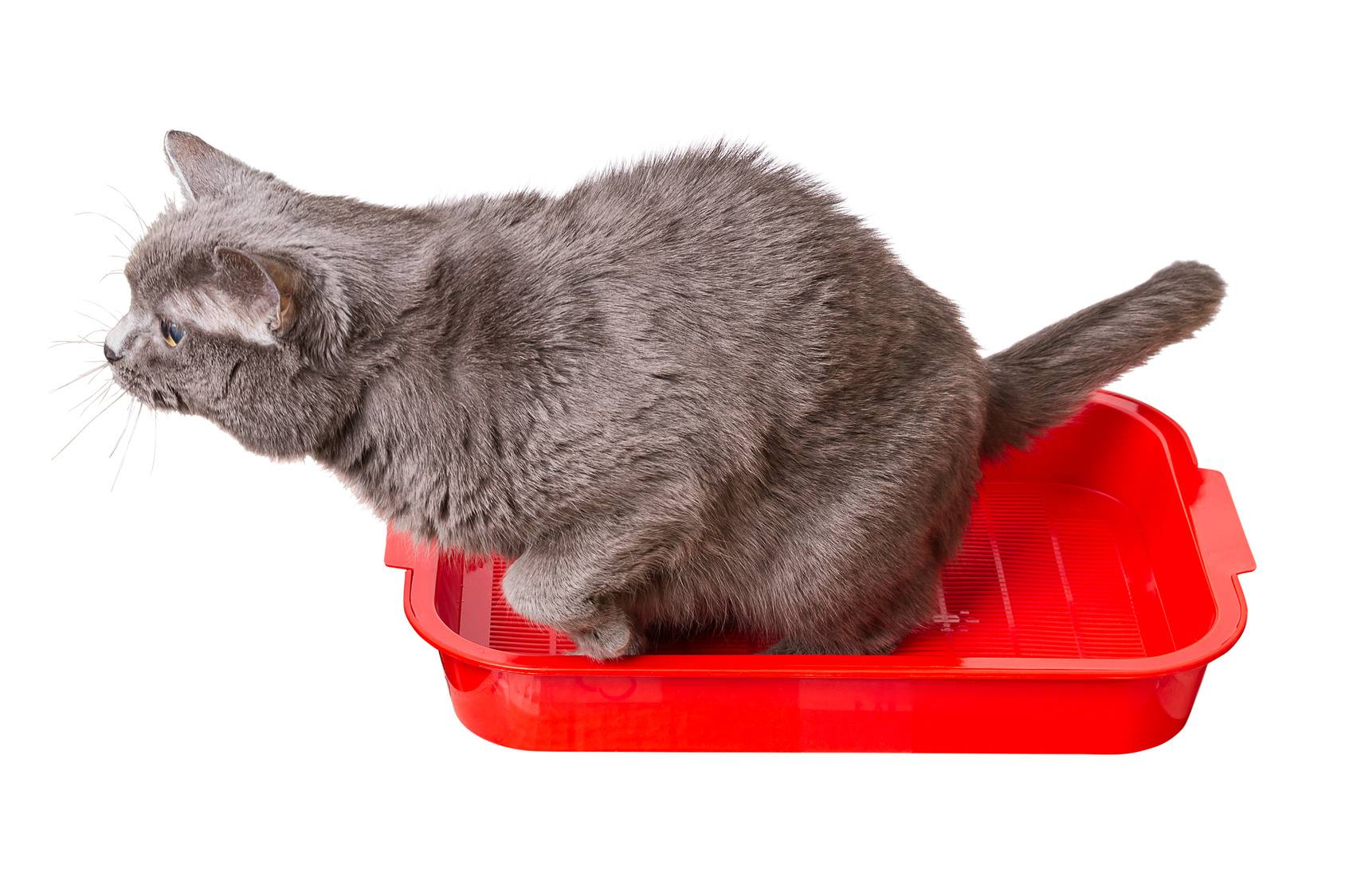 Кот писает кровью: почему это происходит и как лечить