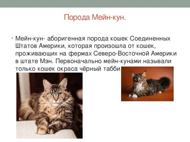 Как мейн кун уживается с другими кошками?