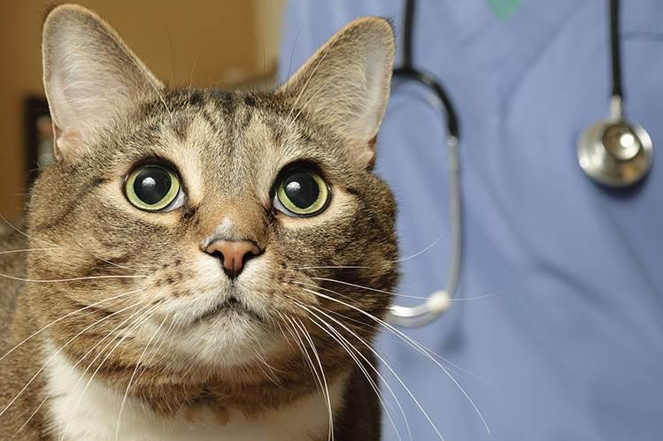 Когда и какие делать прививки кошкам: правила проведения прививок