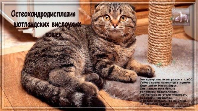 Остеохондродисплазия кошек: приговор или нет. остеохондродисплазия у кошек: причины, симптомы, лечение