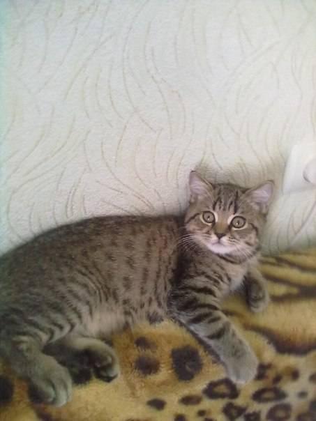 Как кошки меняют цвет. цвет глаз шотландских кошек. какое значение имеет цвет глаз - новая медицина