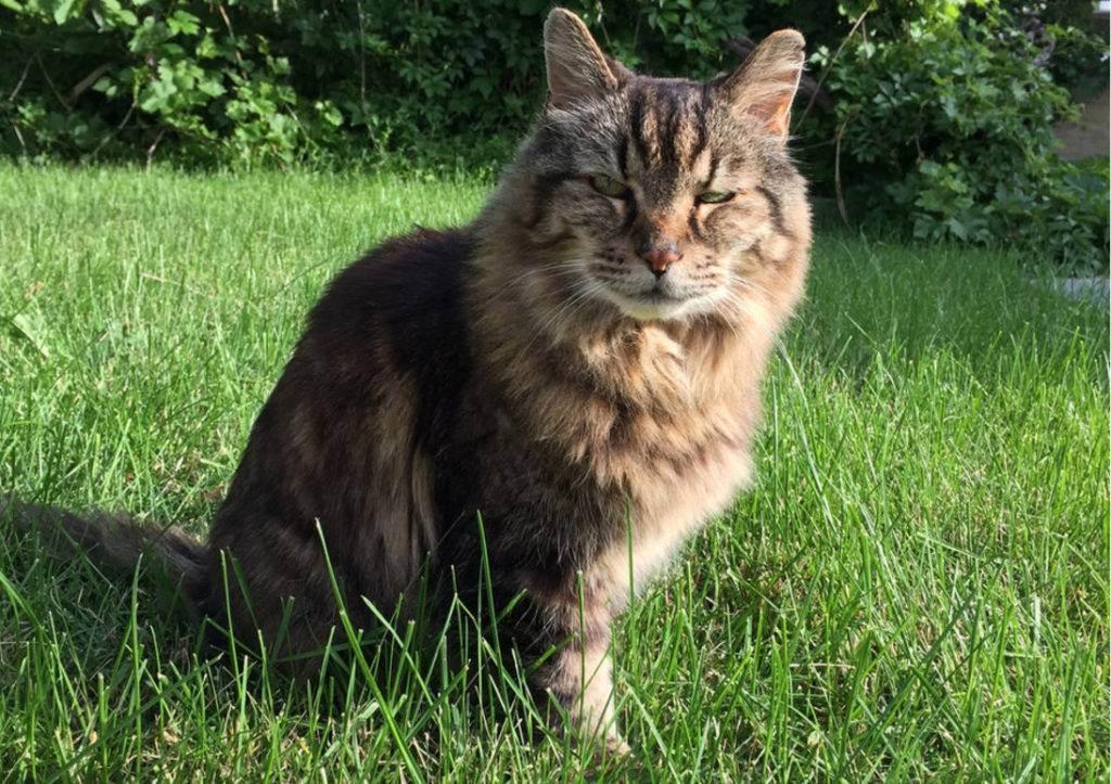 7 пород кошек-долгожителей, с которыми можно забыть про ветеринара