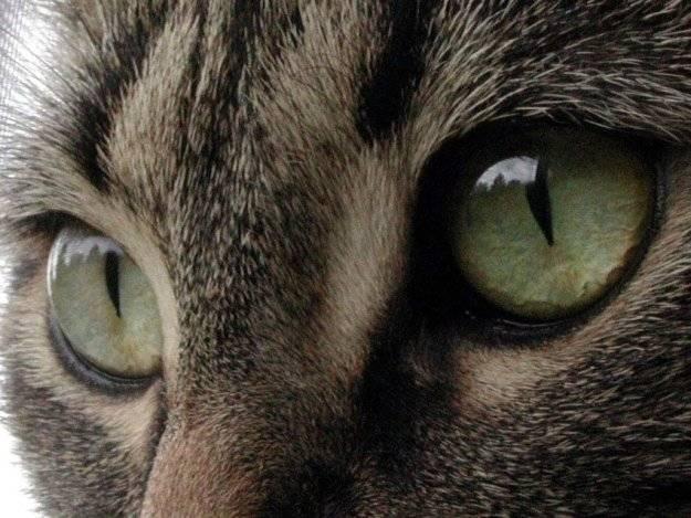 Как видят кошки: какие цвета различают, как видят мир и человека, зрение в темноте
