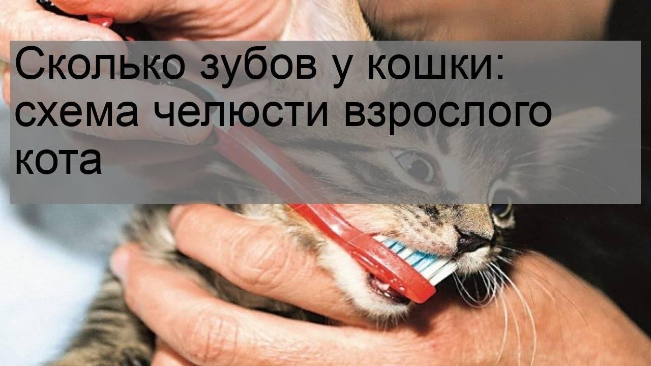 Сколько всего зубов у кошки?