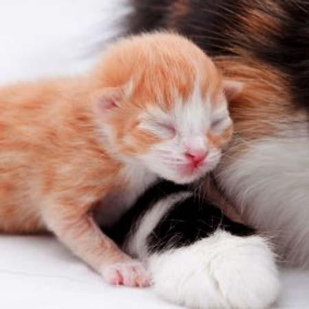 Послеродовые осложнения у кошек
