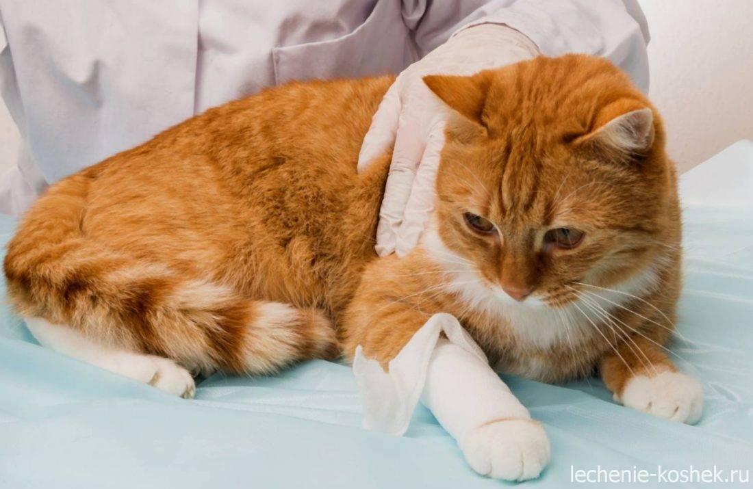 Отказ задних лап у кошки: как помочь животному и вылечить его