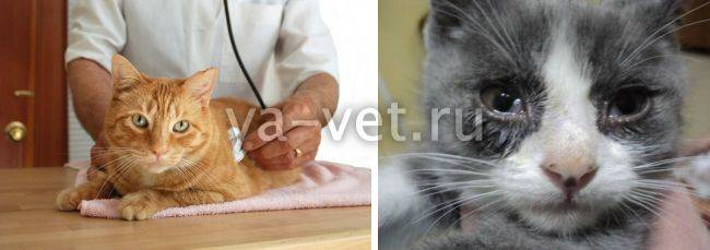 Кошачий герпес или ринотрахеит