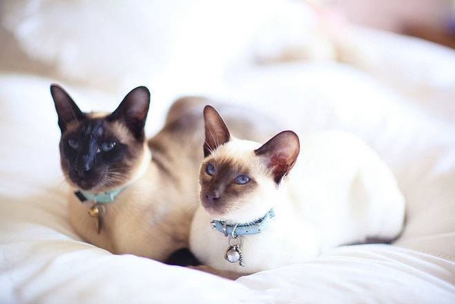 Сколько живут кошки сиамские — о животных на чистоту