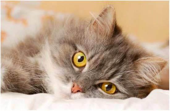 У кота заложен нос: как и чем лечить в домашних условиях