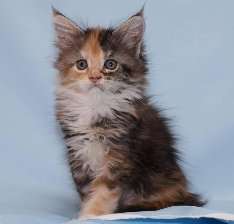 Имена для котов мальчиков мейн кунов
