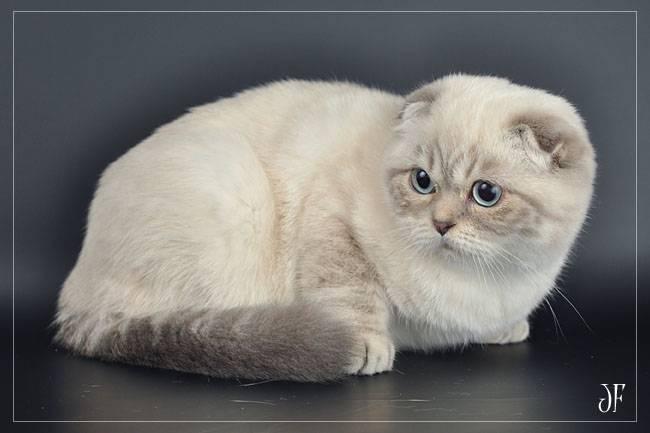 Сиамская кошка - описание, фото, цена, характер, уход, видео | сайт «мурло»