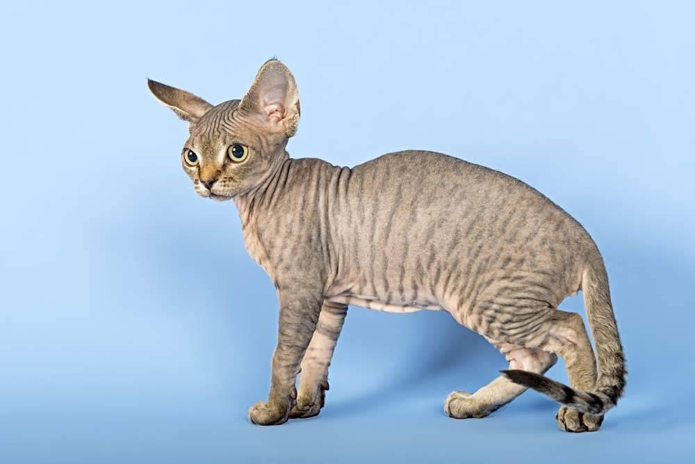 Гипоаллергенные породы кошек. описание, названия, особенности и фото кошек | животный мир