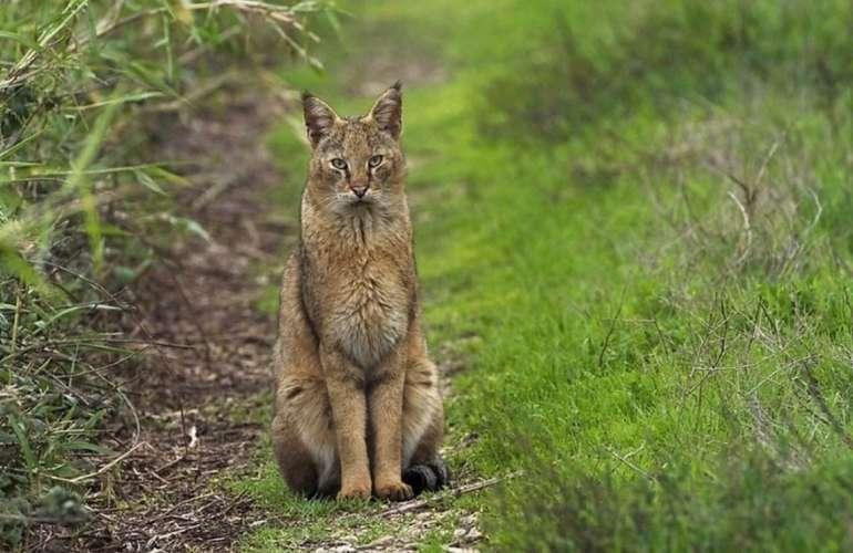 Кавказский камышовый кот (хаус) — felis chaus chaus