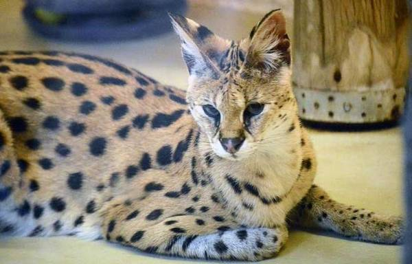 Cервал кошка: фото, описание породы, характер, цена