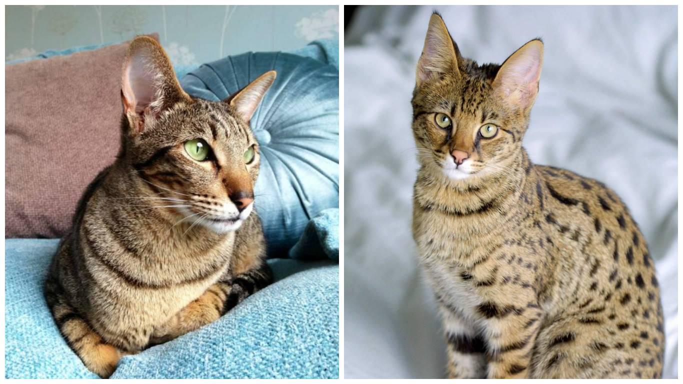 5 пород кошек с плоской мордой и большими глазами: как называются коты с приплюснутыми носами?