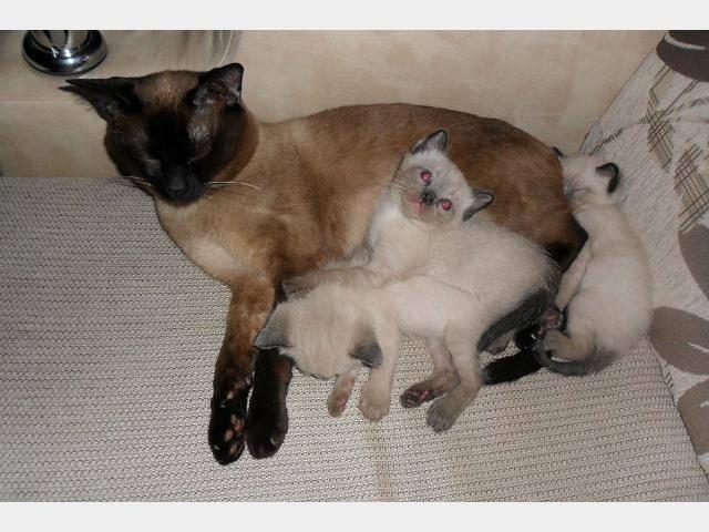 Особенности кормления сиамских котов