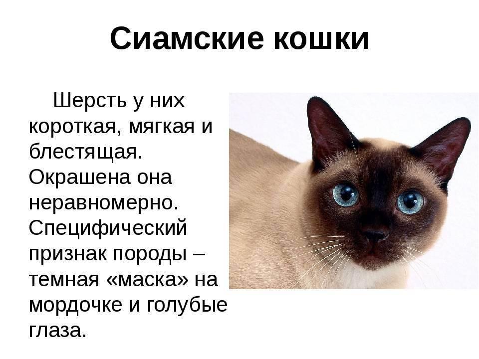 Сомалийская кошка - фото и описание породы (характер, уход и кормление)