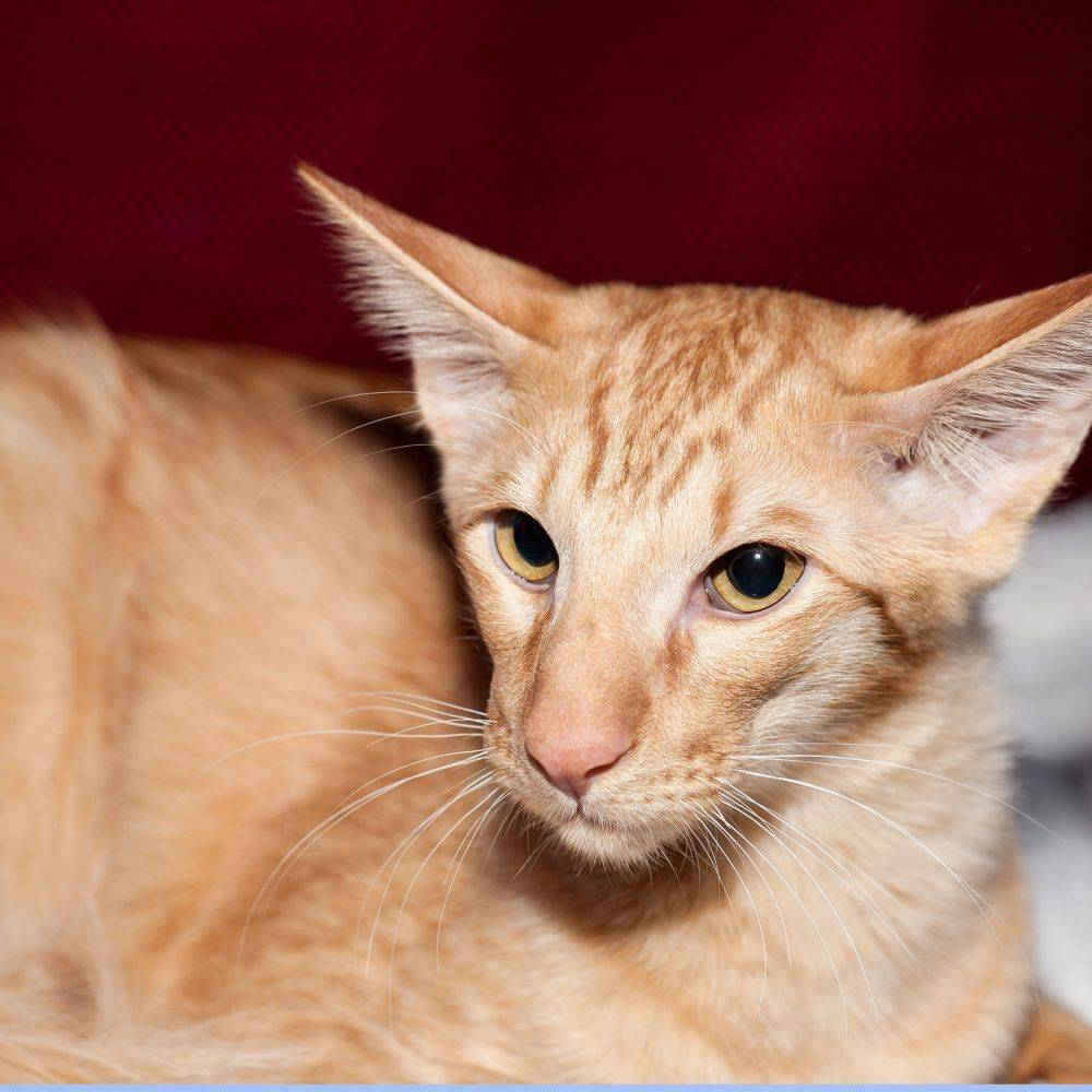 Происхождение и описание кошек яванской породы, особенности содержания