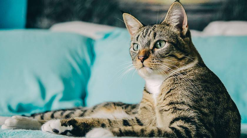Топ-10 лучших пород кошек – рейтинг 2020 года