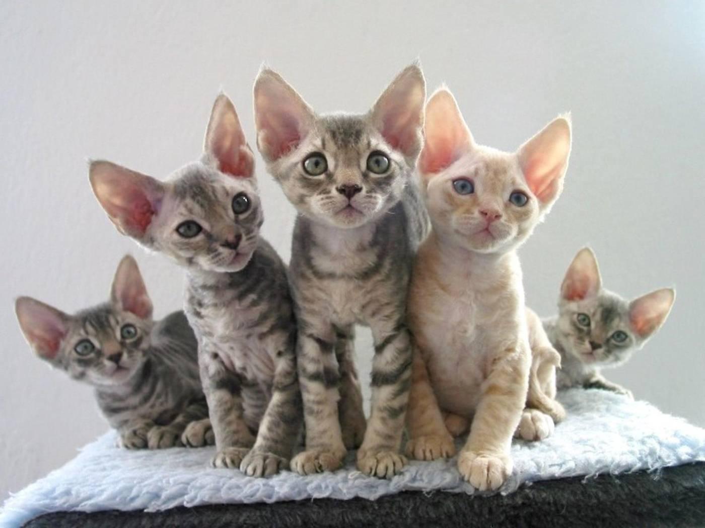 Кошки девон-рекс: описание породы, особенности характера и отзывы владельцев