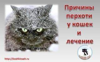 Перхоть у кошек - причины и лечение проблемы