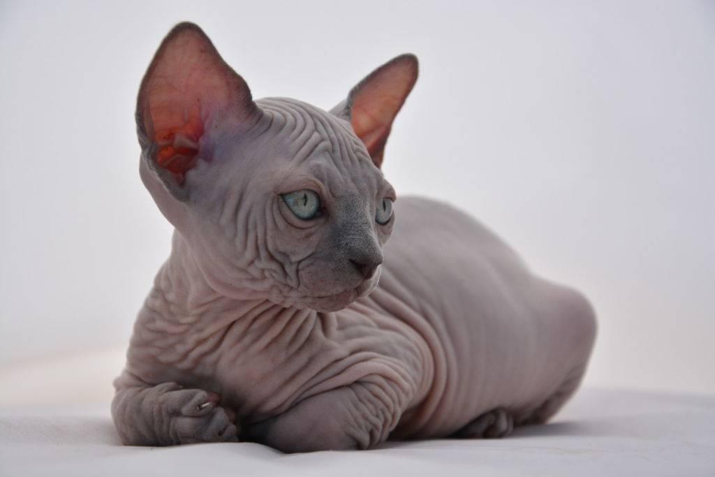 Кошка породы эльф: фото, описание и стандарты породы (+видео)