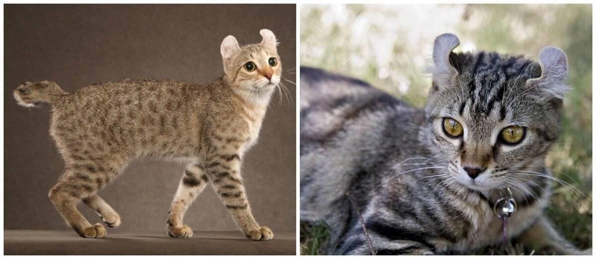 Кошка породы хайлендер (17 фото): внешний вид и характер, особенности содержания взрослых котов и котят, болезни, их профилактика и лечение