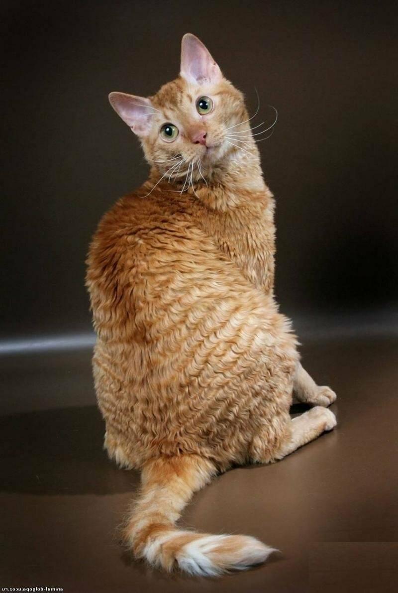 Кудрявые кошки (31 фото): описание пород котов с кучерявой шерстью. короткошерстные и длинношерстные котята, их содержание