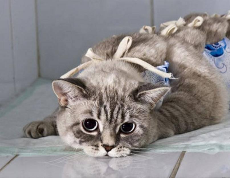 Удаление когтей у кошек и котов — рассмотрим детально