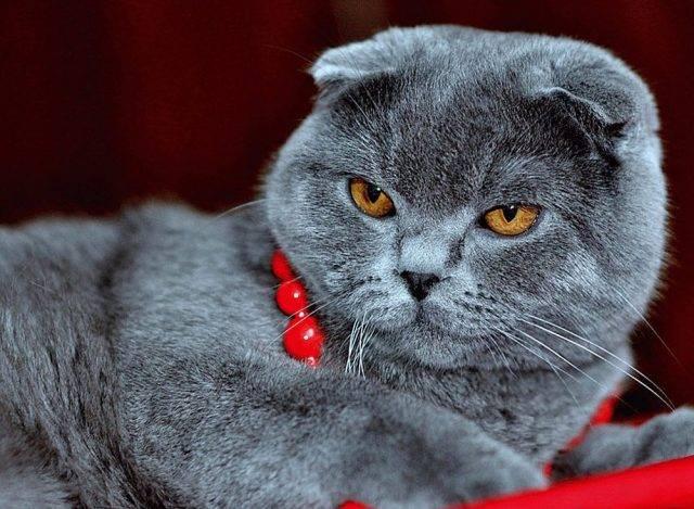 Характер шотландских вислоухих и прямоухих кошек: особенности и повадки, нрав и привычки