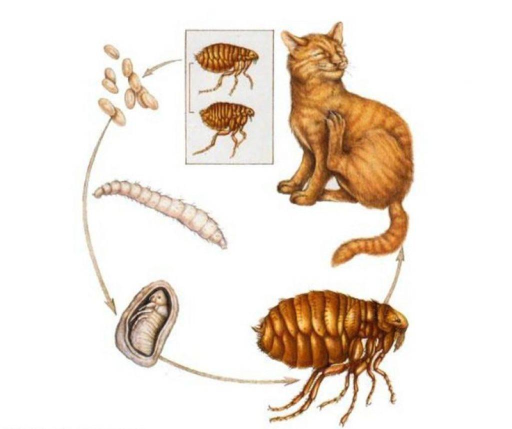 Огуречный цепень у кошек: опасность для человека, симптомы и лечение