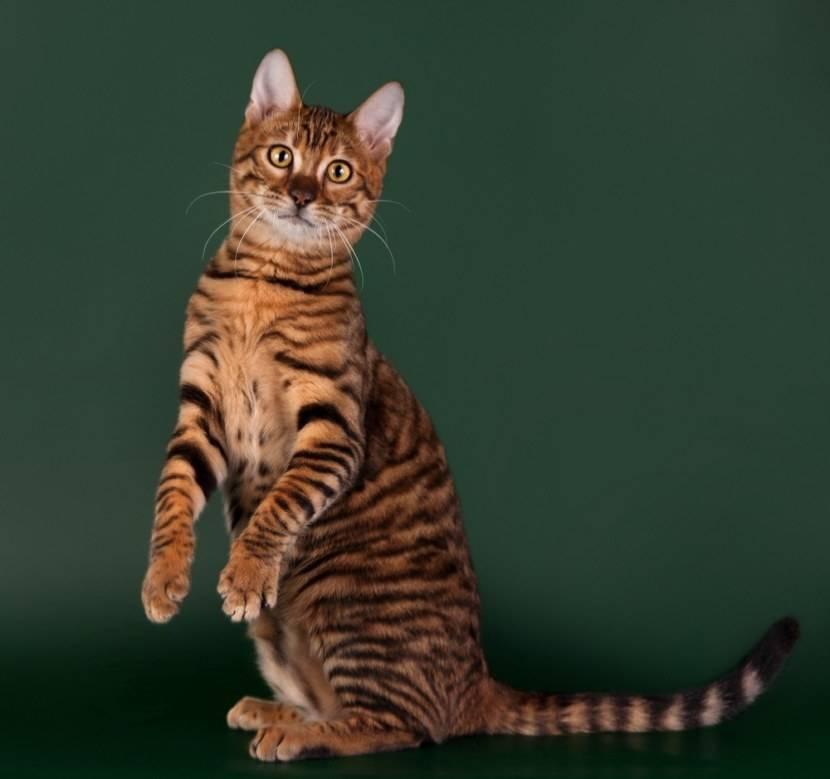 Тойгер: кошки, похожие на тигров- описание и характер +видео и уход