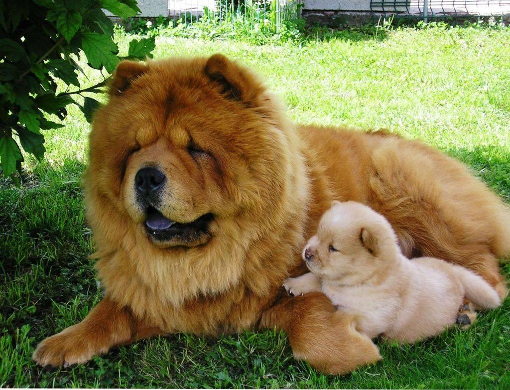 Бойцовские породы собак топ-20: описание с фото и названиями