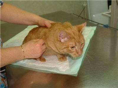 Cколько стоит прививка (вакцина) против лишая для кошек?