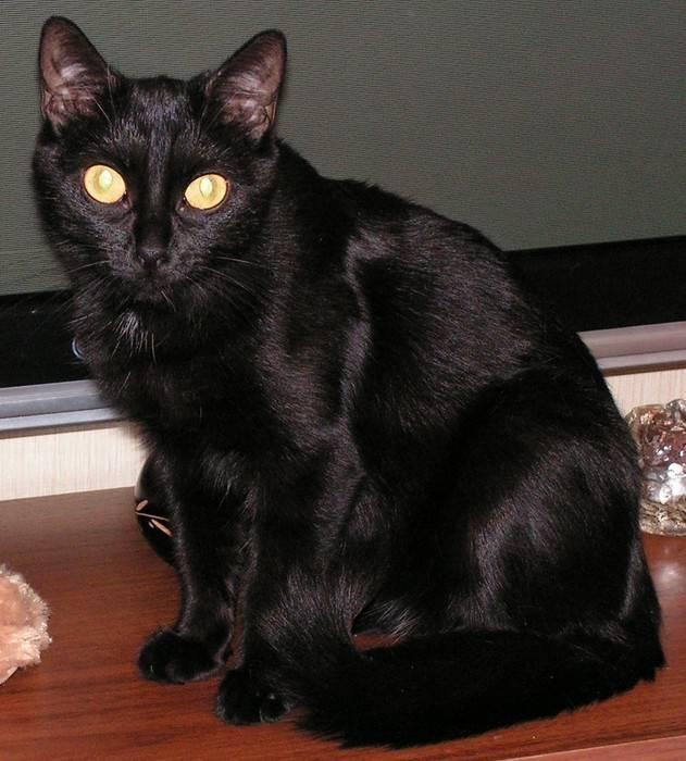 Породы черных кошек с фотографиями и названиями   фото, какие бывают