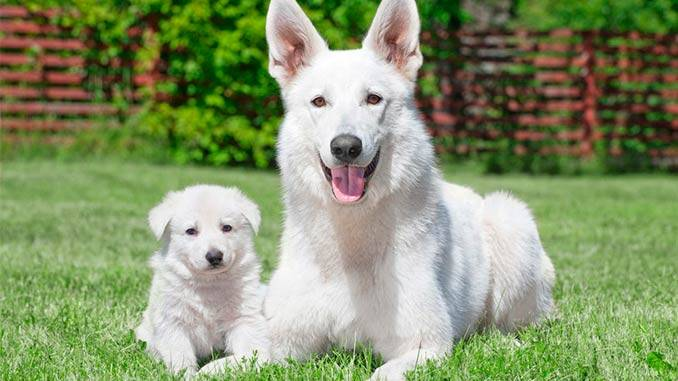 Белая швейцарская овчарка: описание прооды с фото и видео