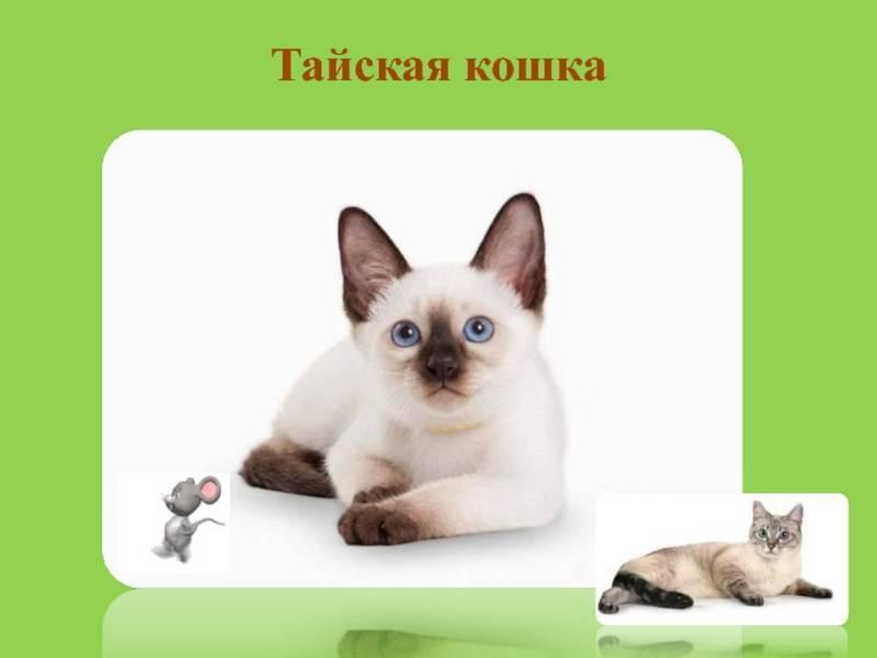 Тайская кошка: описание породы и характера
