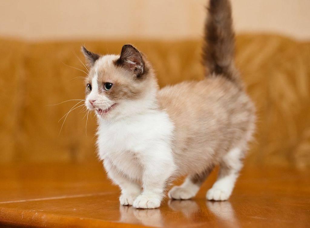 Коротколапые кошки: названия пород с короткими лапами, их описания и фото