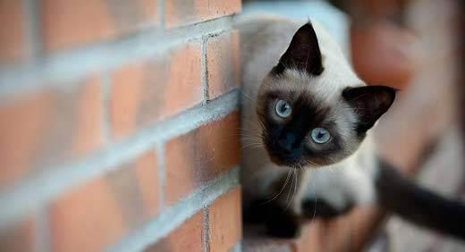 """Имена для котов, кошек, котят. клички для мальчиков и девочек на буквы от """"а"""" до """"я"""". питомник """"elite british"""""""
