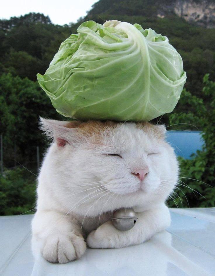 Какие овощи можно кошкам: разрешено ли давать огурцы, капусту, кабачки